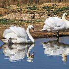Mute Swans - Abbotsbury by Susie Peek