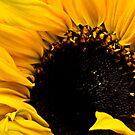Sunflower by drbeaven