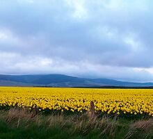 Field of Daffodils  by Larissa  White Edwards