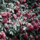 Rose bush by shadycat