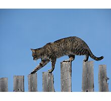 Tabby on Fence Ridge Walker  Series # 1 Photographic Print