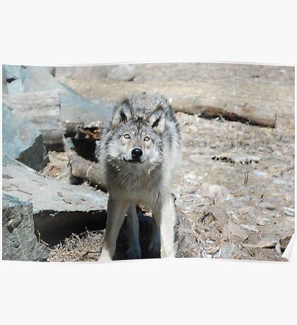 Wolfs Poster