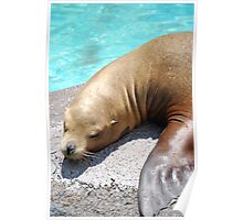 Sleepy Sea Lion Poster