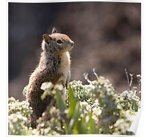 Ground Squirrel with Wild Flowers Poster