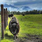 Musk Ox Farm - Palmer, Alaska  by Dyle Warren