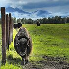 Musk Ox Farm - Palmer, Alaska  by Dyle Warren
