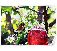 Male Rufous Humminbird Poster