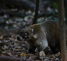 Coati showing its canines by anibubble