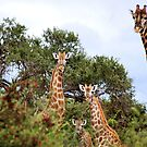 THE  FAMILY GATHERING  - GIRAFFE – Giraffa camelopardalis by Magaret Meintjes