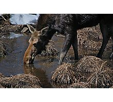 Canadian Moose Photographic Print