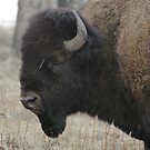 Bison Profile #2 by Ken McElroy