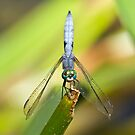 Pacific Northwest Dragonflies and Damselflies by JimJohnson
