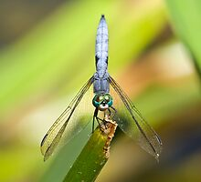 Pachydiplax longipennis (Blue Dasher) by Jim Johnson
