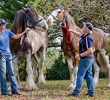 Clydesdales 06 by Yanni