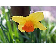 """Daffodil""   Photographic Print"
