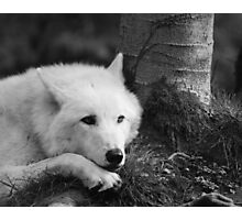 Sleepy Wolf in the Wood Photographic Print