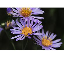 daisy blue Photographic Print