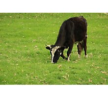 Holstein Cow Grazing Photographic Print