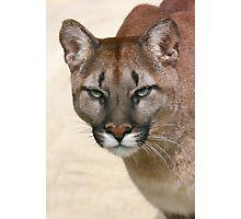 Puma's stare Photographic Print