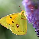 Clouded Yellow by Geoff Carpenter