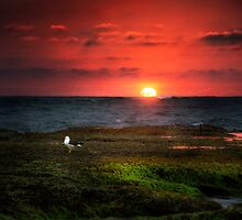 Seagull on Sunset - Sorrento - Mornington Peninsula by Monica Cooke