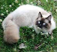 Dougal Amongst the Clover by Calliope-Oz