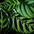 Beautiful Calathea's by Gabrielle  Lees