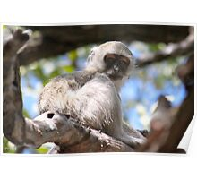 African Monkey Poster