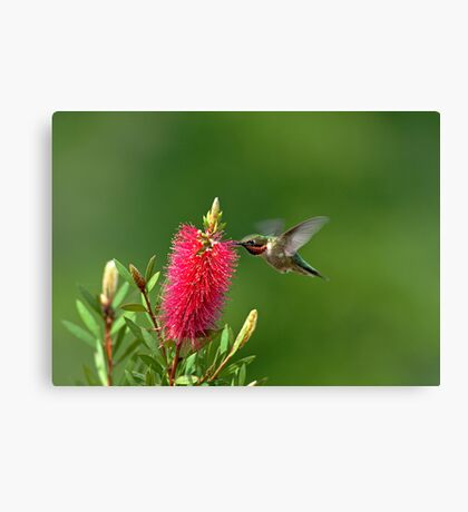 Hummingbird on Bottlebrush Canvas Print