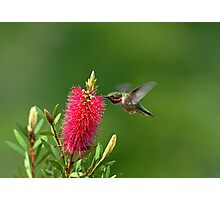Hummingbird on Bottlebrush Photographic Print