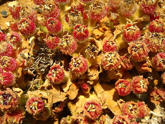 Ice Plants by Bellavista2