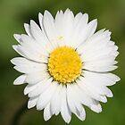 Closeup of a Beautiful Yellow and Wild White Daisy flower by taiche