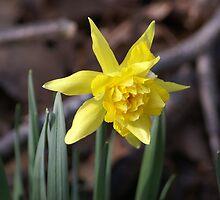 Daffodil by Cassy Greenawalt