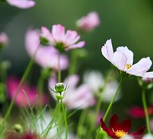 pink wildflowers. Photographed in Armenia by PhotoStock-Isra