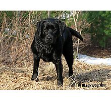Early Spring Hunt - Black Labrador Photographic Print