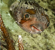 Porcupine Fish by Marcel Botman