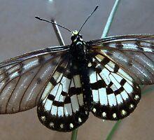 Glasswing Butterfly by ann peach