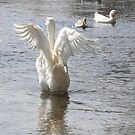 White Duck Flapping Wings on Water by taiche