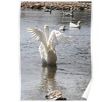 White Duck Flapping Wings on Water Poster