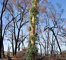 New Life Appearing the recent bush fires by Pauline Tims