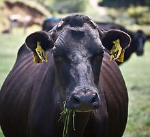 A dehorned dairy cow in New by anibubble