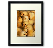 Clutch of Yellow Fluffy Chicks Framed Print