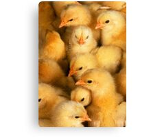 Clutch of Yellow Fluffy Chicks Canvas Print