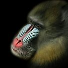 Mandrill Portrait by Steve Bullock