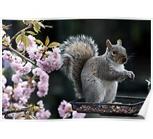 Squirrel in the Blossom Poster