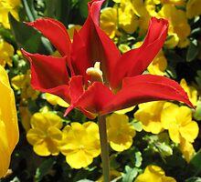 Red Tulip detail by Alymark