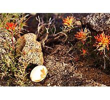 Indian Paintbrush Hawk egg Photographic Print