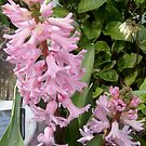 Pink Hyacinth by hilarydougill