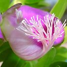 Pink Polygala Myrtifolia in Macro with Green Background  by taiche