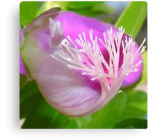 Pink Polygala Myrtifolia in Macro with Green Background  Canvas Print